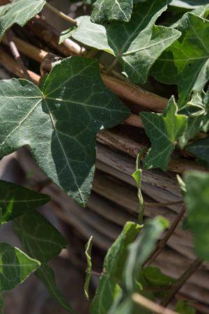 ivy-1672493_1280
