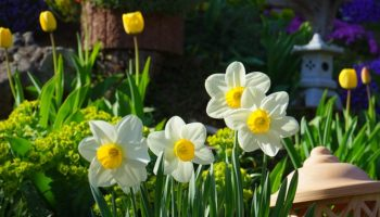 daffodils-324392_640