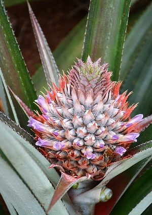 pineapple-plant-1047353_640