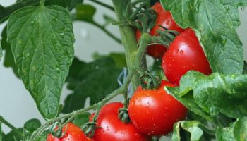 tomatoes-1561565_640