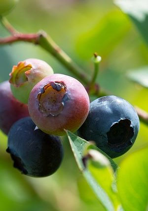 blueberries-3516609_640
