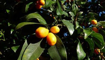 kumquat-2852236_640