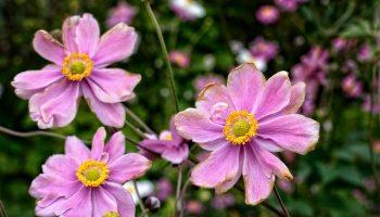 fall-anemone-954087_640