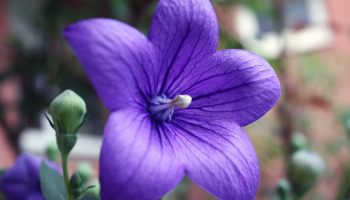 balloon-flower-829670_640