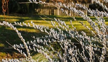willow-catkin-4767812_640