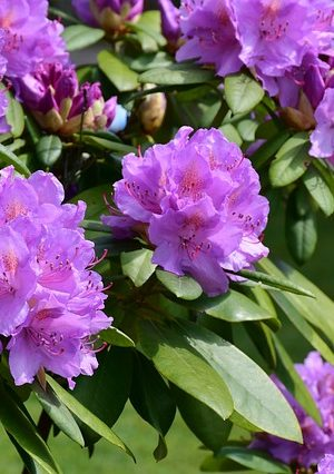 rhododendron-3411826_640