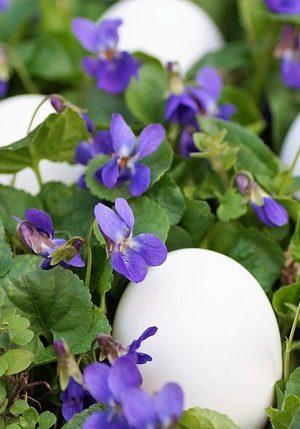 violets-4110706_640